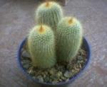 Kaktus Mini Lagi