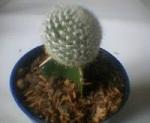 Kaktus Mini Sambung