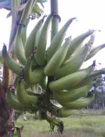 pisang mulu bebe
